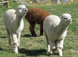 Clonación de alpacas. Un proyecto en marcha en San Marcos
